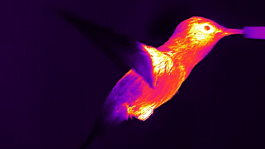 screenshot from infrared video by Animal Energetics / Powers Lab