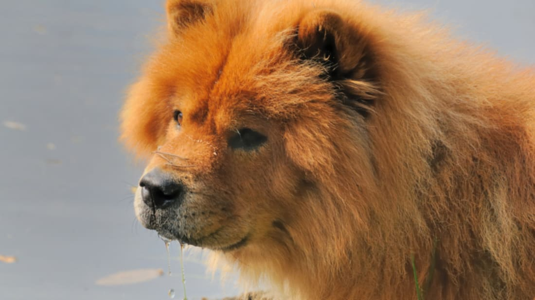 11 Fluffy Facts About Chow Chows