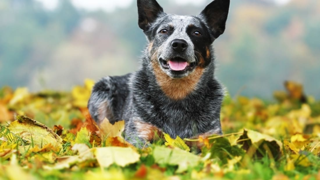 9 Hearty Facts About Australian Cattle Dogs | Mental Floss