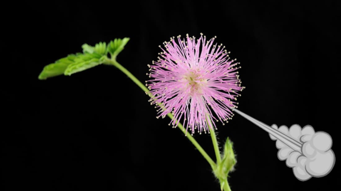 Mimosa pudica. Image Credit: Werner1122, Wikimedia Commons // CC BY SA-3.0