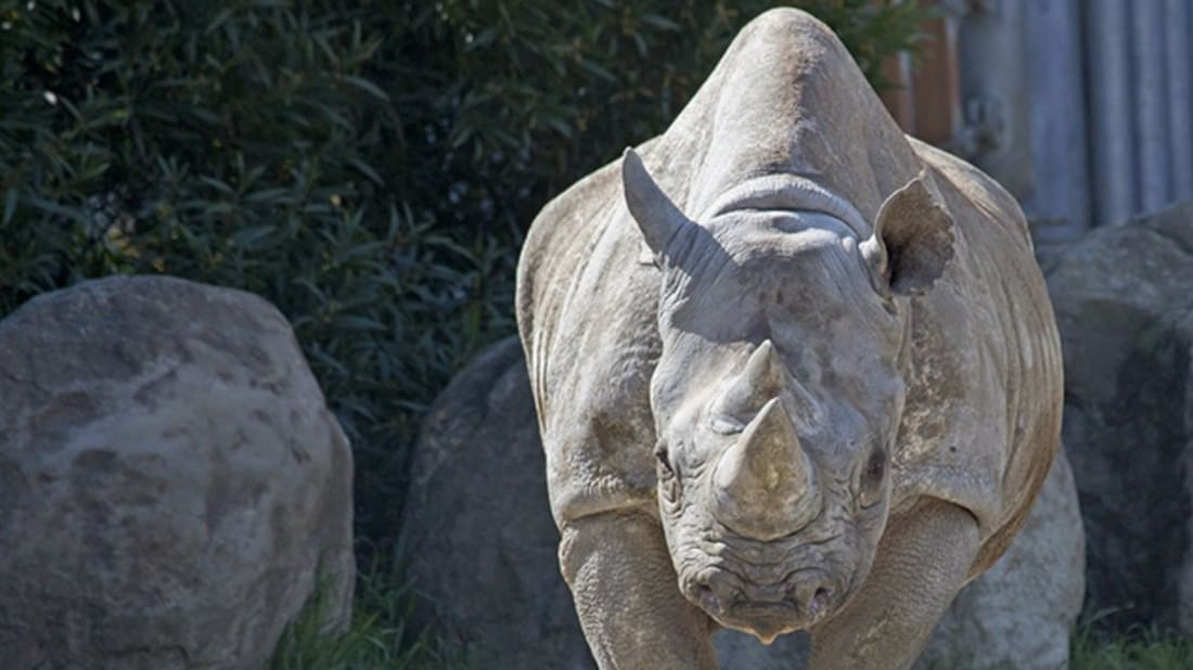 The Oldest Black Rhino In America Just Turned 45