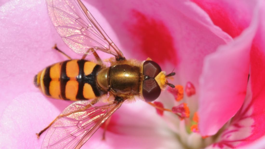 Hoverfly (Eupeodes corollae) by Thomas Bresson via Wikimedia Commons // CC BY 2.0