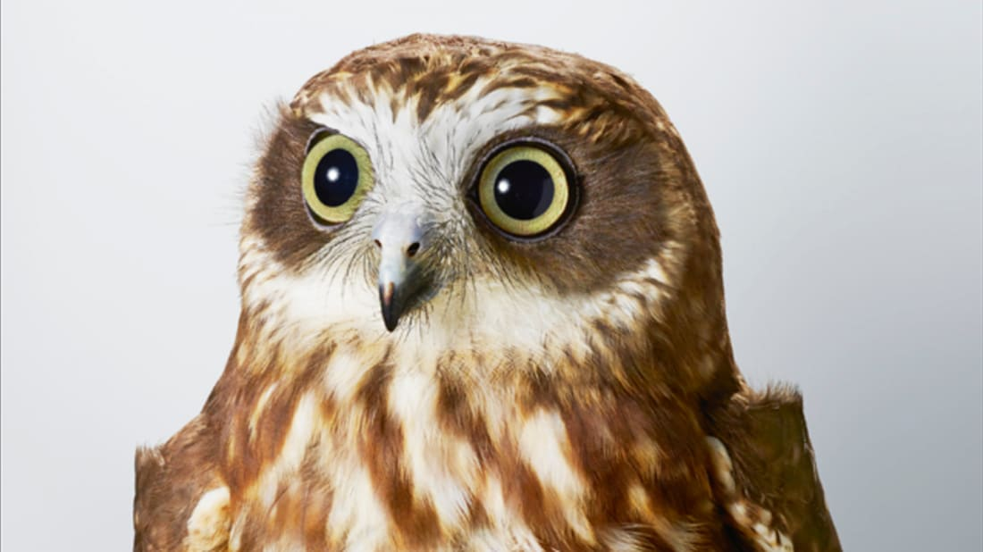 Pepper, Southern boobook (Ninox boobook) from Bird Love, images copyright © Leila Jeffreys