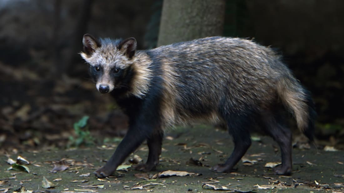 12 Surprising Facts About Raccoon Dogs | Mental Floss
