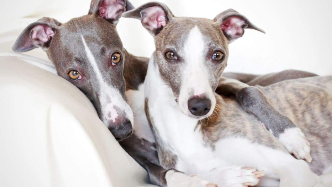 10 Quick Facts About Whippets | Mental Floss