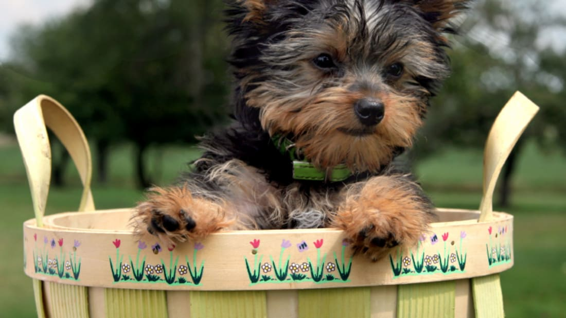 10 Tiny Facts About Yorkshire Terriers | Mental Floss