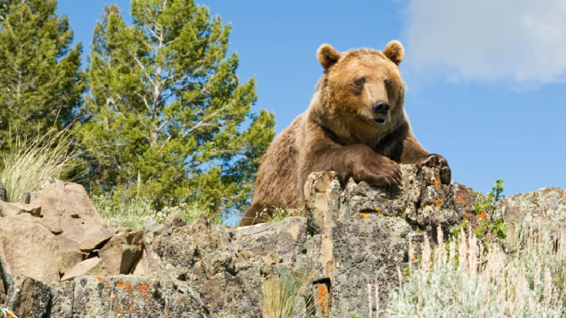 Bear Rehab Teaches Grizzlies Not to Attack Humans