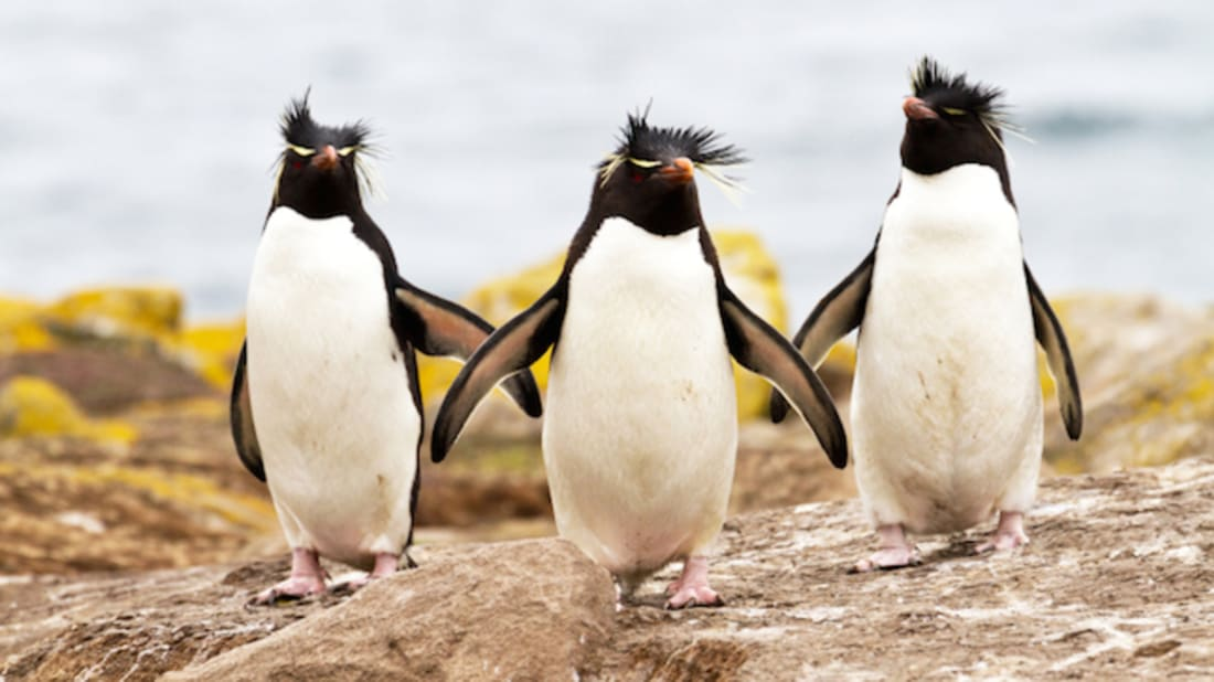 For These Penguins, Monogamy Means Doing Your Own Thing