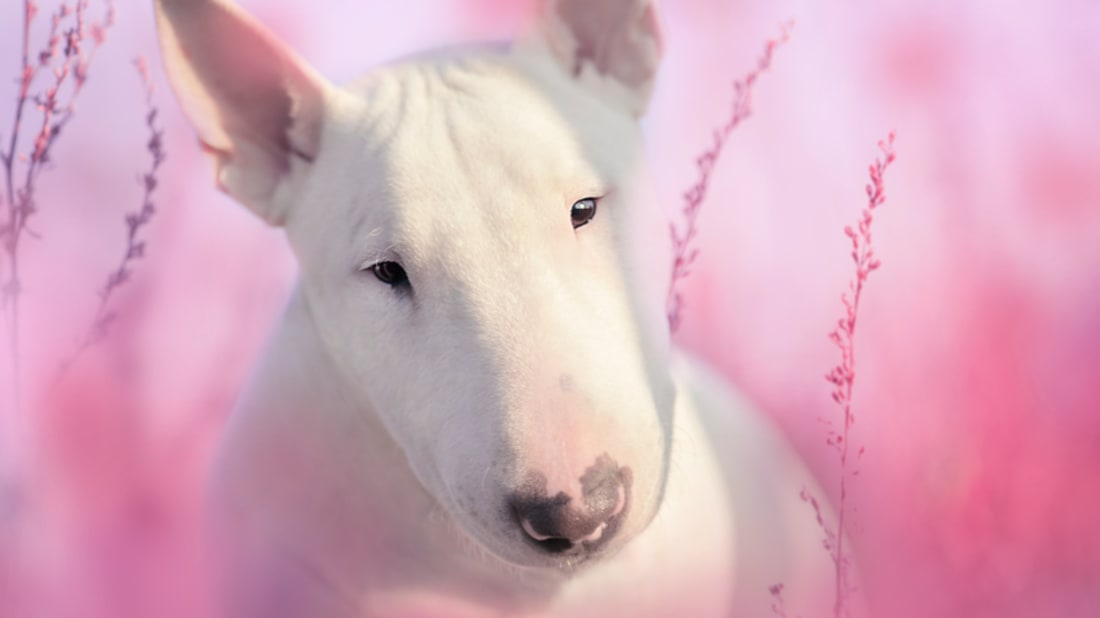 9 Solid Facts About Bull Terriers | Mental Floss