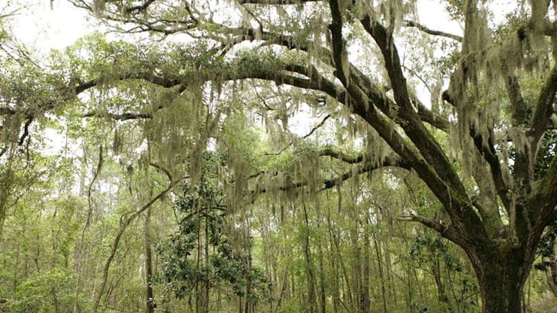 10 Things You Should Know About Spanish Moss Mental Floss