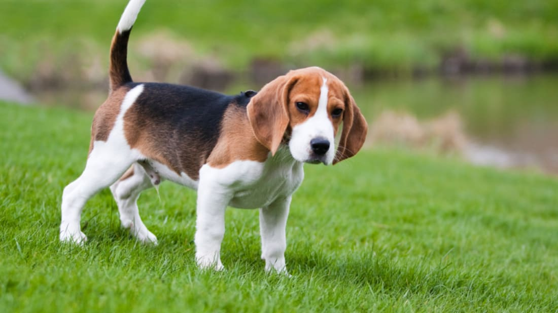 10 Howling Good Facts About Beagles | Mental Floss