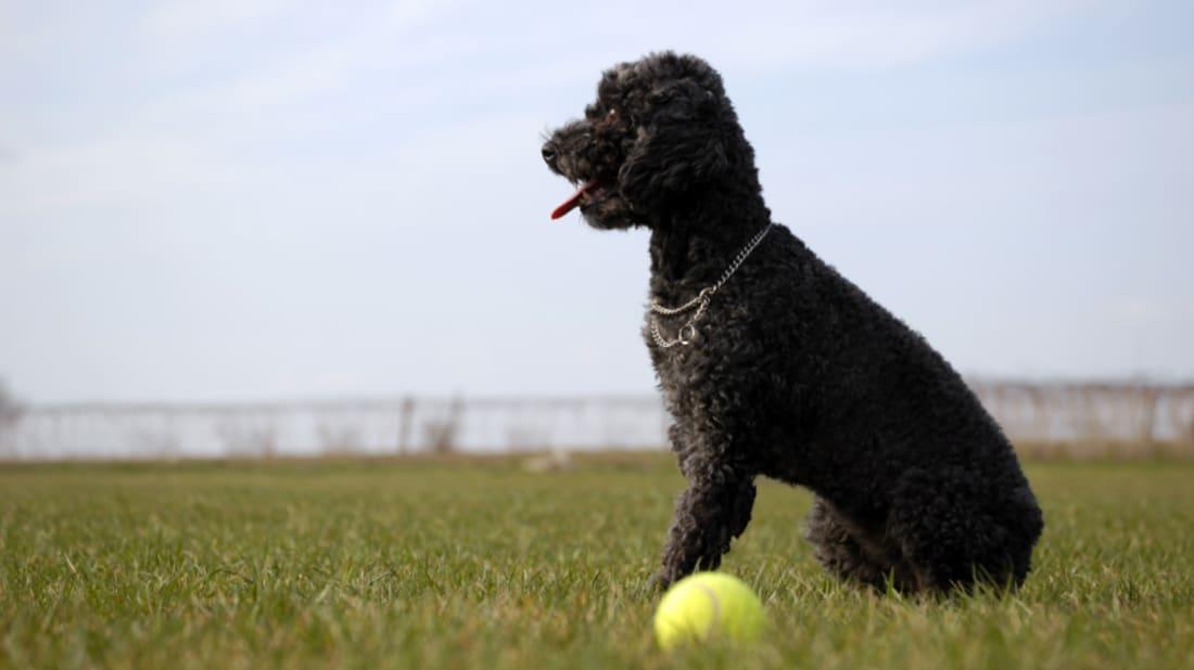 10 Fancy Facts About Poodles