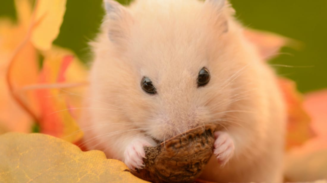 11 Adorable Facts About Hamsters | Mental Floss