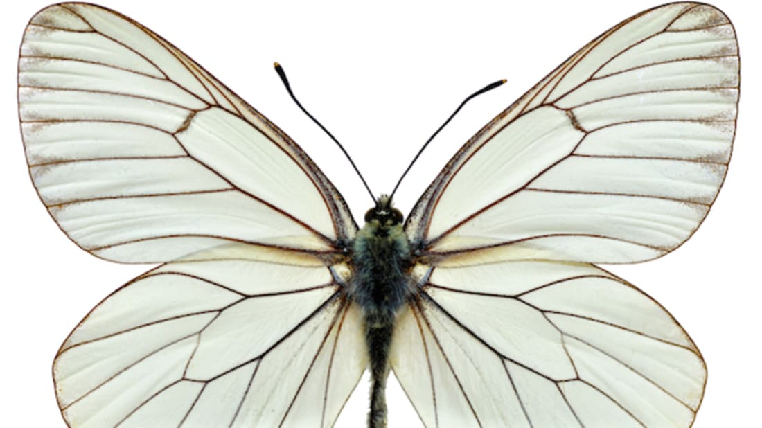 Female Butterflies Have A Second Stomach—Inside Their Vaginas