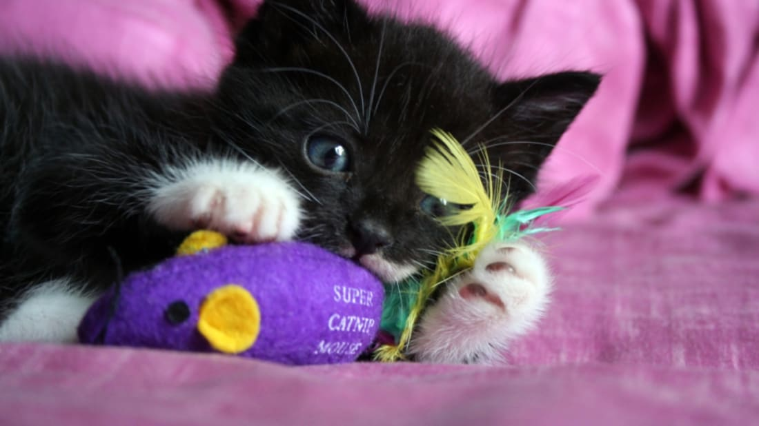 What Is Catnip And Why Are Cats Crazy For It Mental Floss