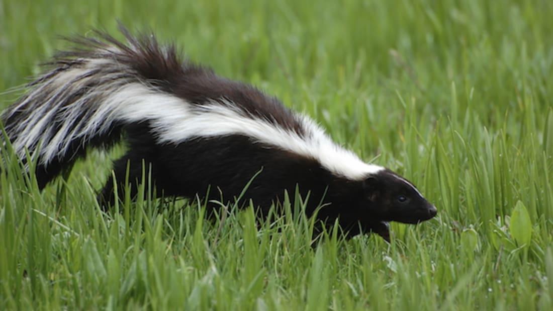 10 Pungent Facts About Skunks Mental