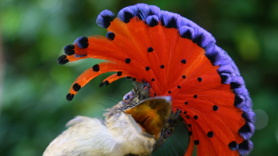 15 Birds With Fancy Feathered Noggins | Mental Floss