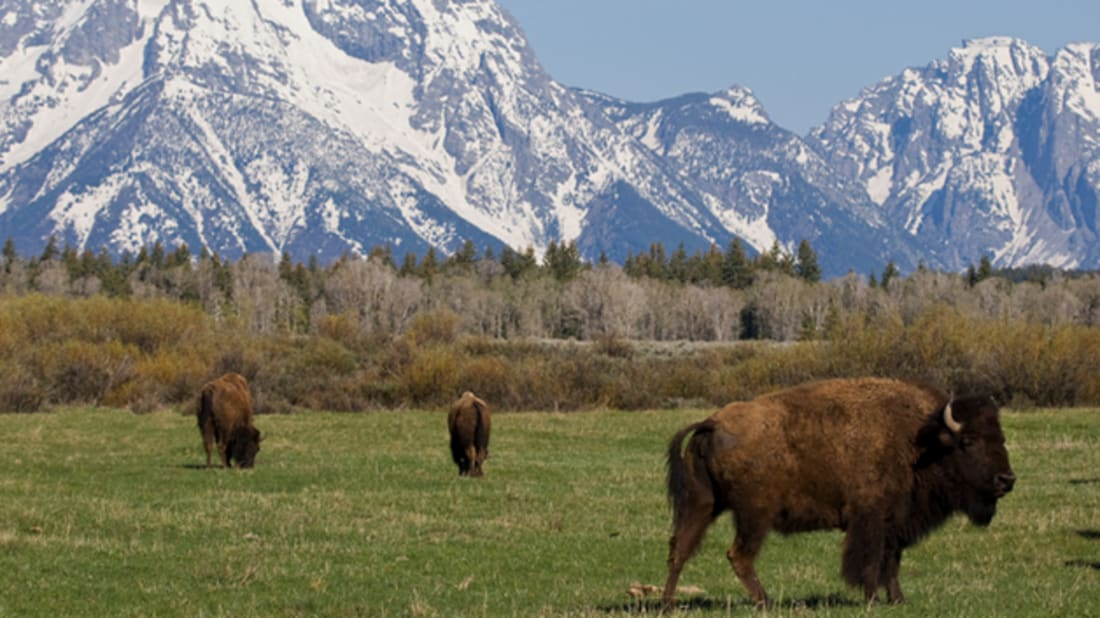What's the Difference Between Bison and Buffalo? | Mental Floss