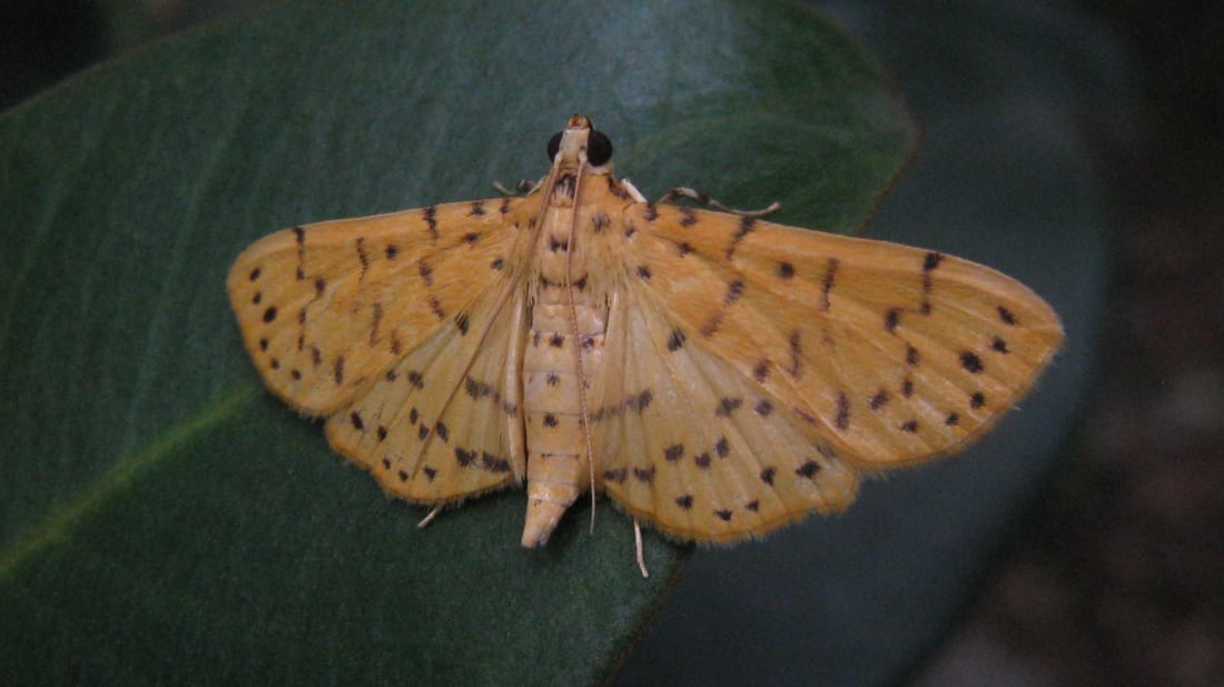 This Moth's Love Song Has a Dual Meaning | Mental Floss