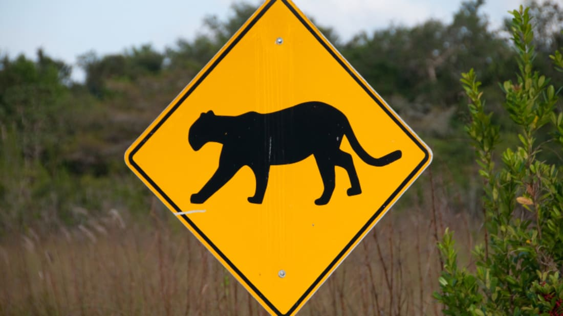 How Highway Underpasses are Saving Panthers in Florida