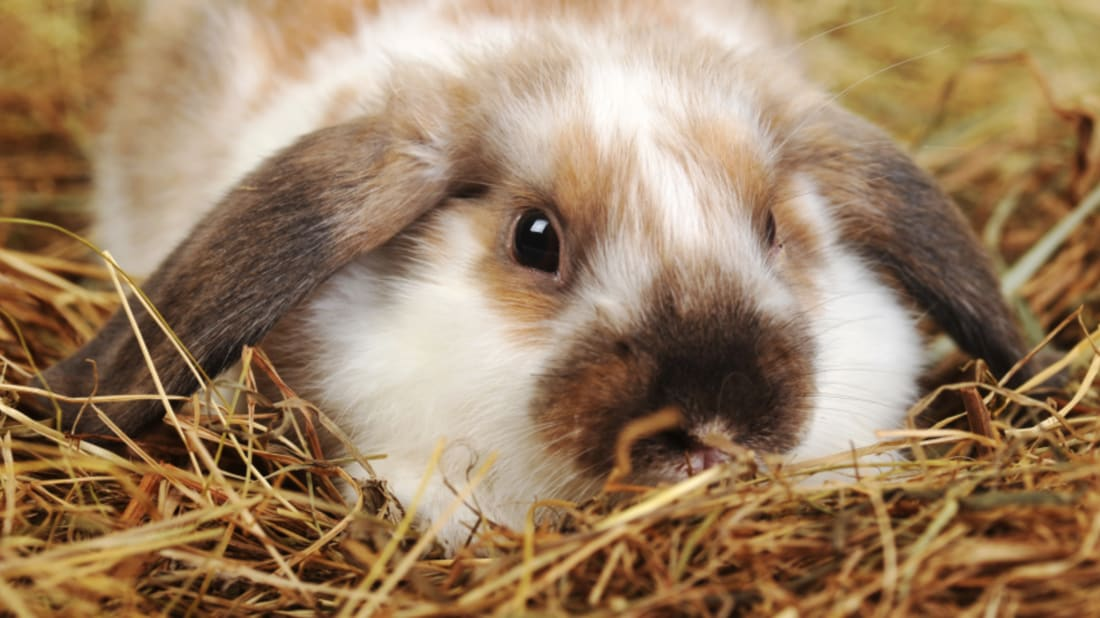 How Did Bunny Become A Cutesy Word For Rabbit Mental Floss