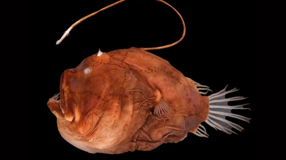 "Masaki Miya et al. ""Evolutionary history of anglerfishes (Teleostei: Lophiiformes): a mitogenomic perspective,"" BMC Evolutionary Biology 10, article number: 58 (2010), Wikimedia Commons // CC BY 2.0"