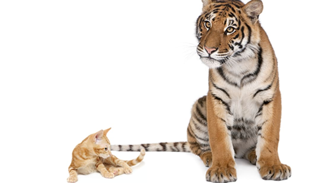 11 Ways Big Cats Are Just Like Domestic Cats | Mental Floss