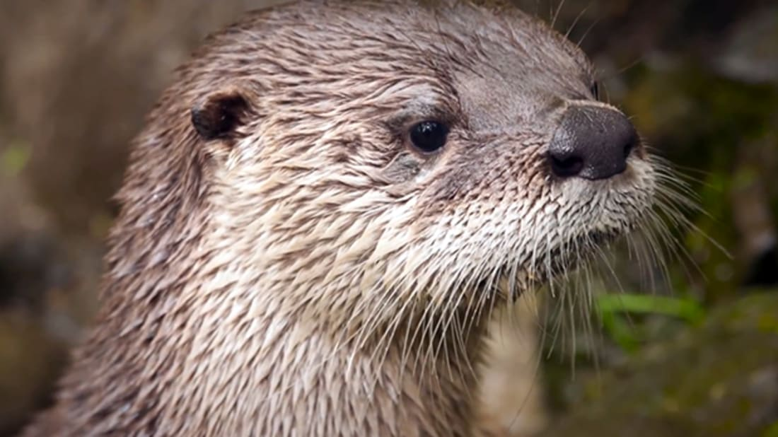 How Baby River Otters Learn To Swim Mental Floss