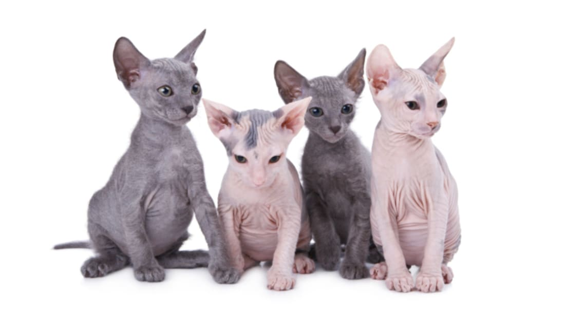 15 Delightful Cat Breeds\u0027 Origins