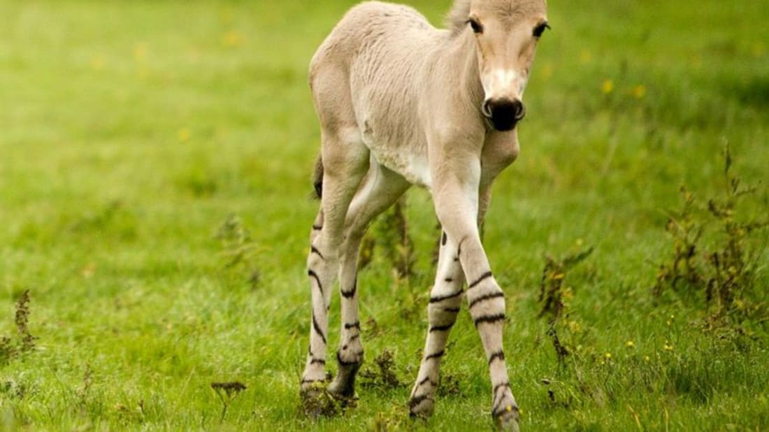 Daniel Davies/Woburn Safari Park via Zooborns