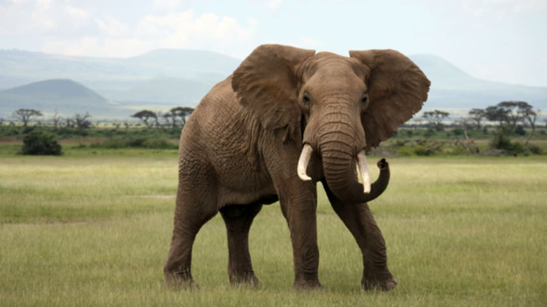 Are Elephants Mammals >> Is It True That Elephants Never Forget Mental Floss