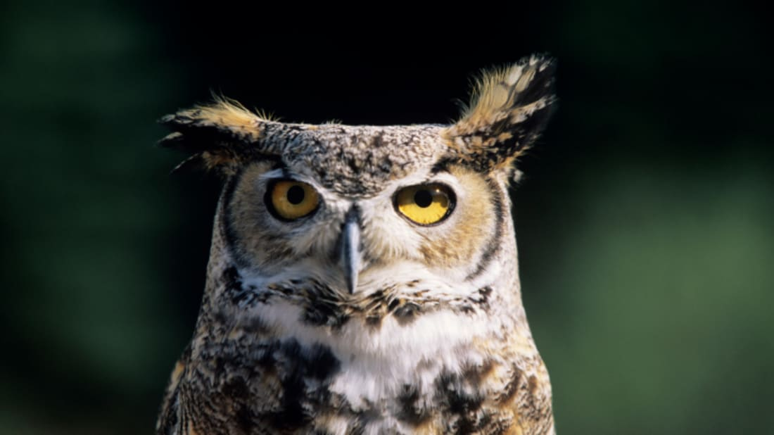 Why Bird Brain Shouldnt Be Considered >> How Can Owls Rotate Their Heads 270 Degrees Without Dying Mental