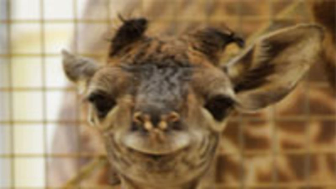 Smuk Tongue Length and Other Things You Should Know About Giraffes GH-76