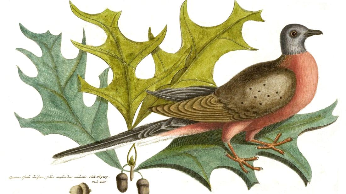 10 Facts About the Extinct Passenger Pigeon | Mental Floss