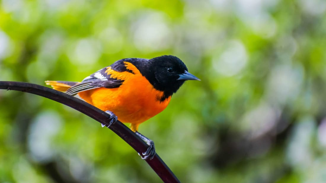 Baltimore orioles are colorful spring migrants.