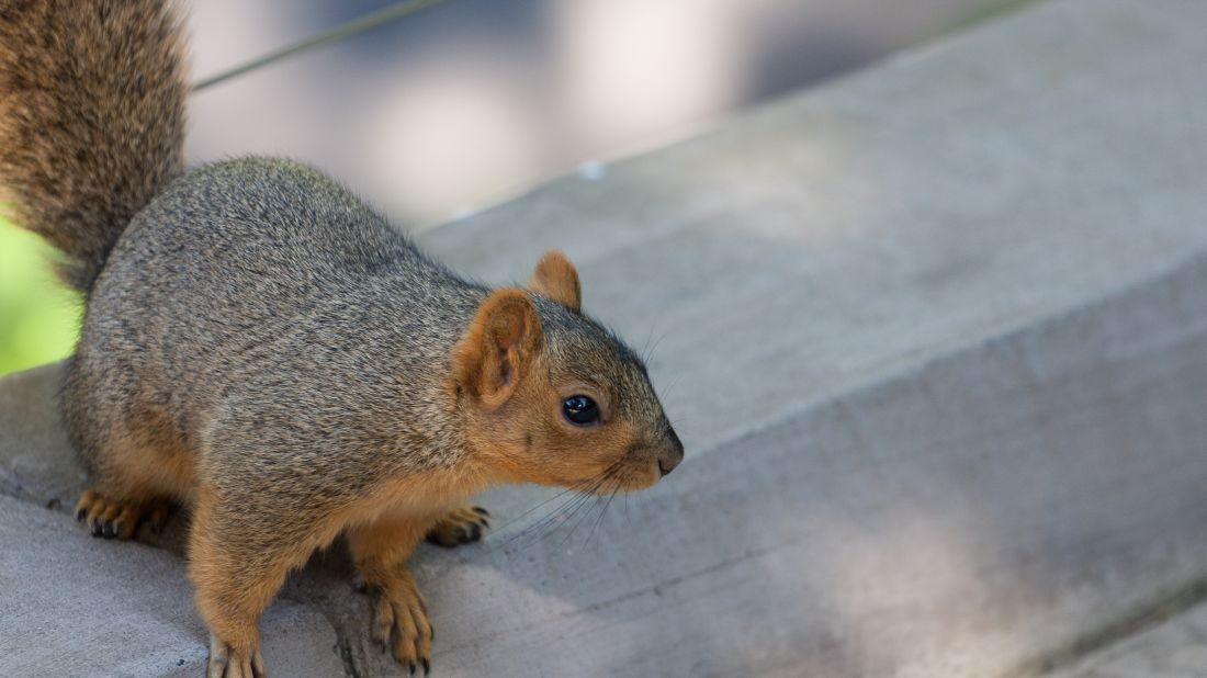 A ground squirrel at the San Diego Zoo. Markus Jöbstl via Flickr // CC BY-NC 2.0