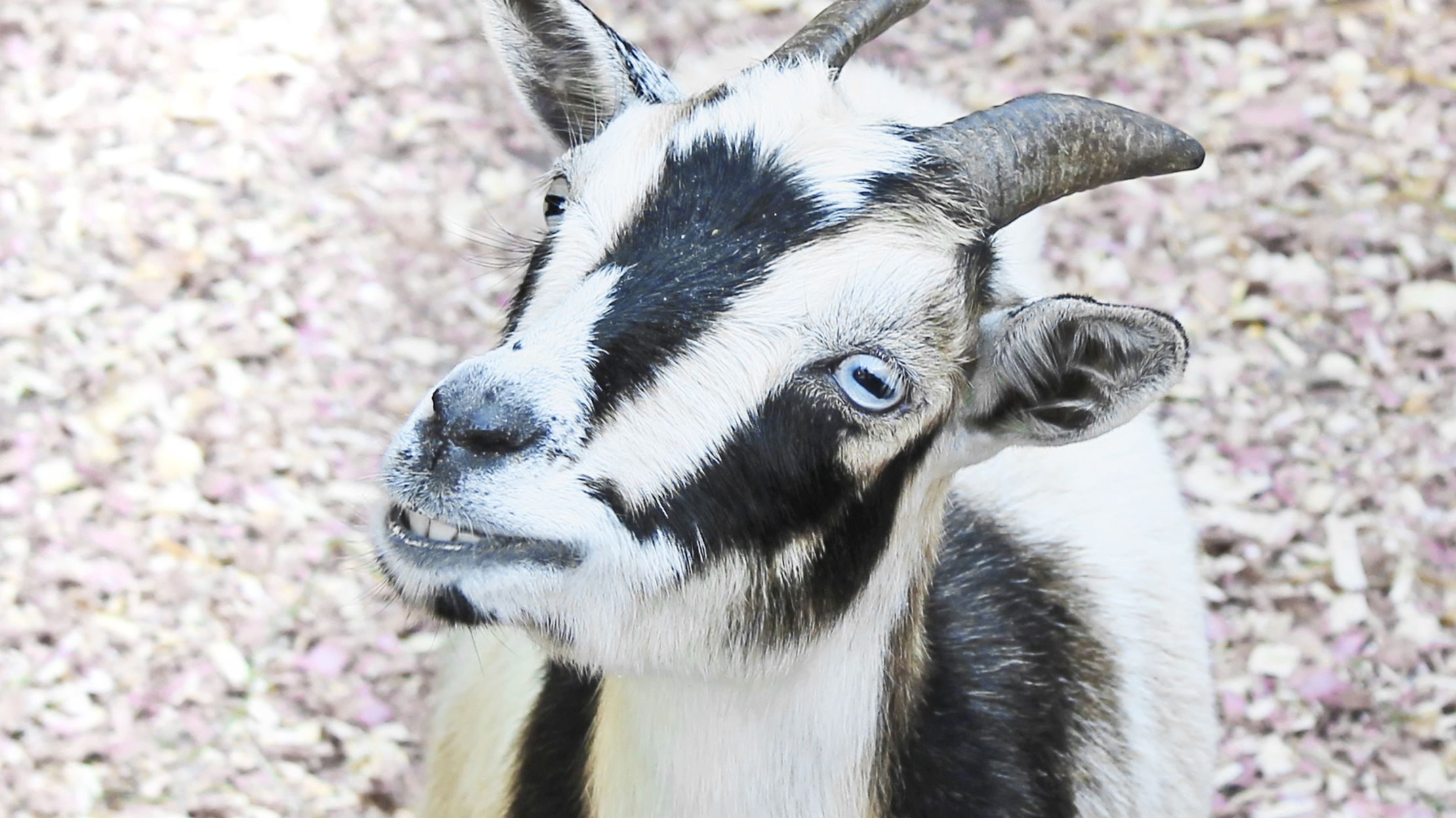Why Do Goats Have Such Weird Eyes Mental Floss