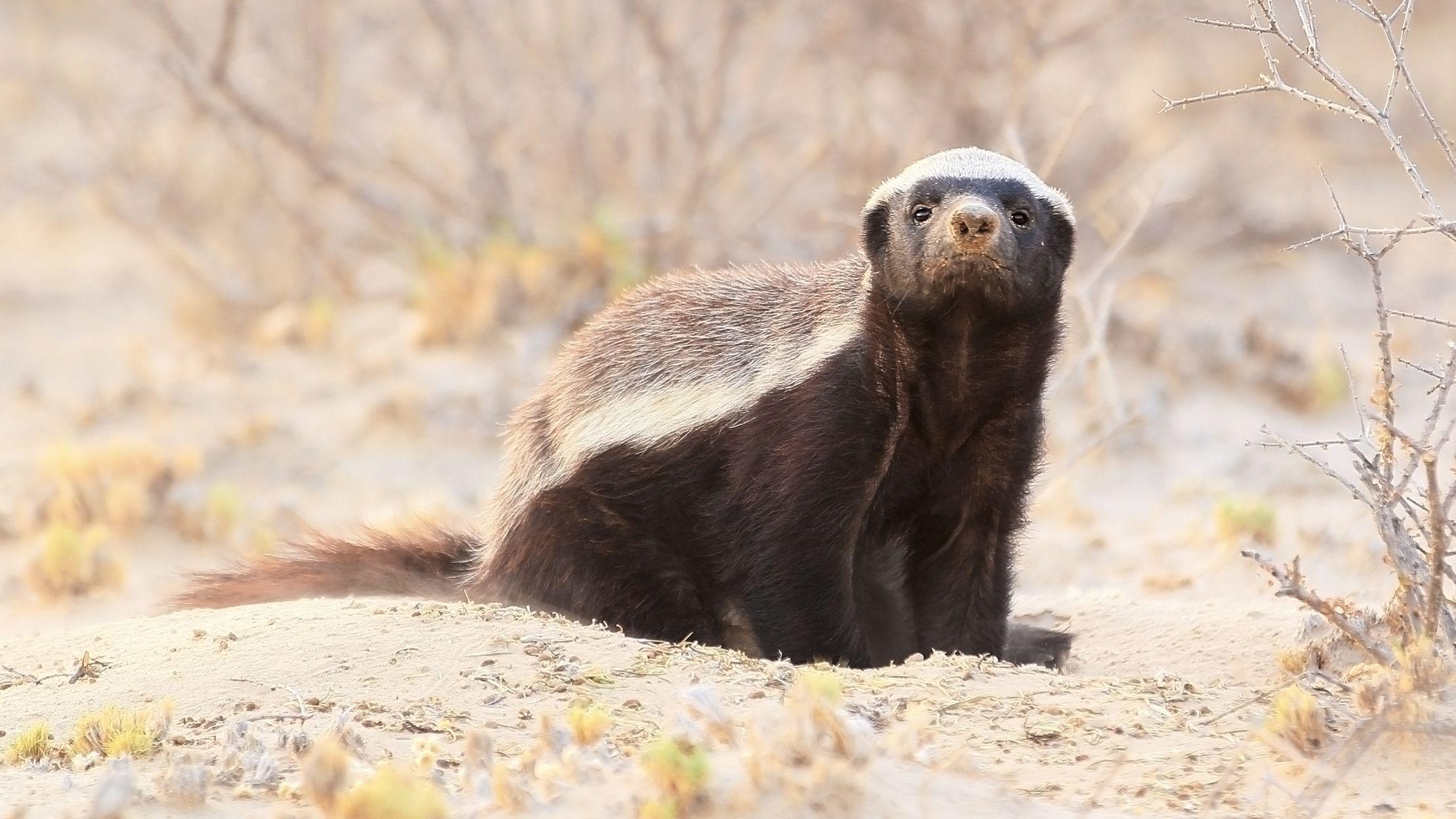 11 Fierce Facts About The Honey Badger Mental Floss