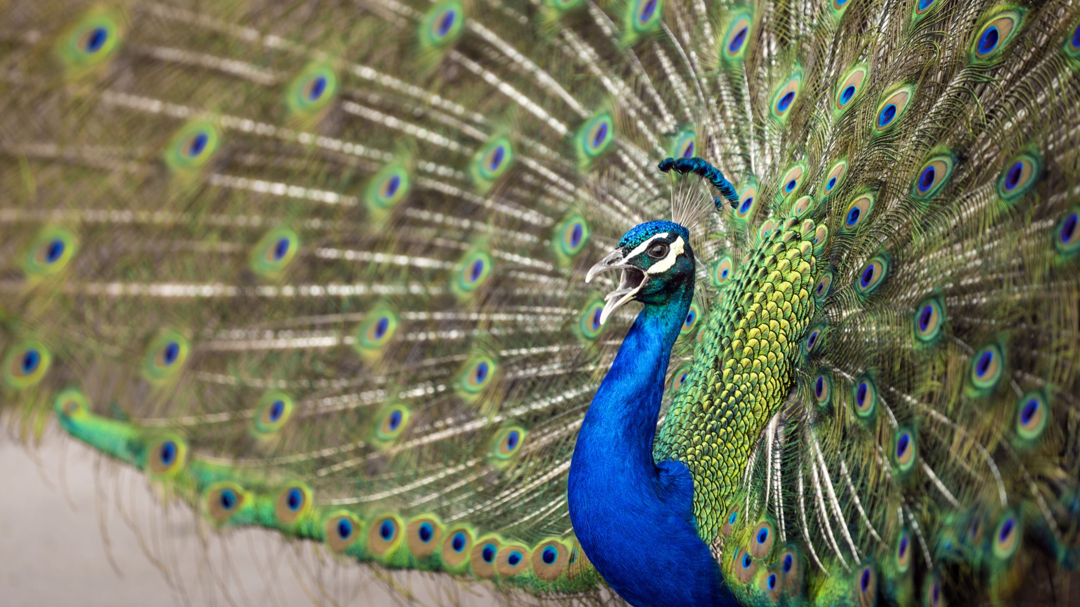 Face Eyes Photography Nature Peacocks Birds Colorful: 9 Feathery Facts About Peacocks