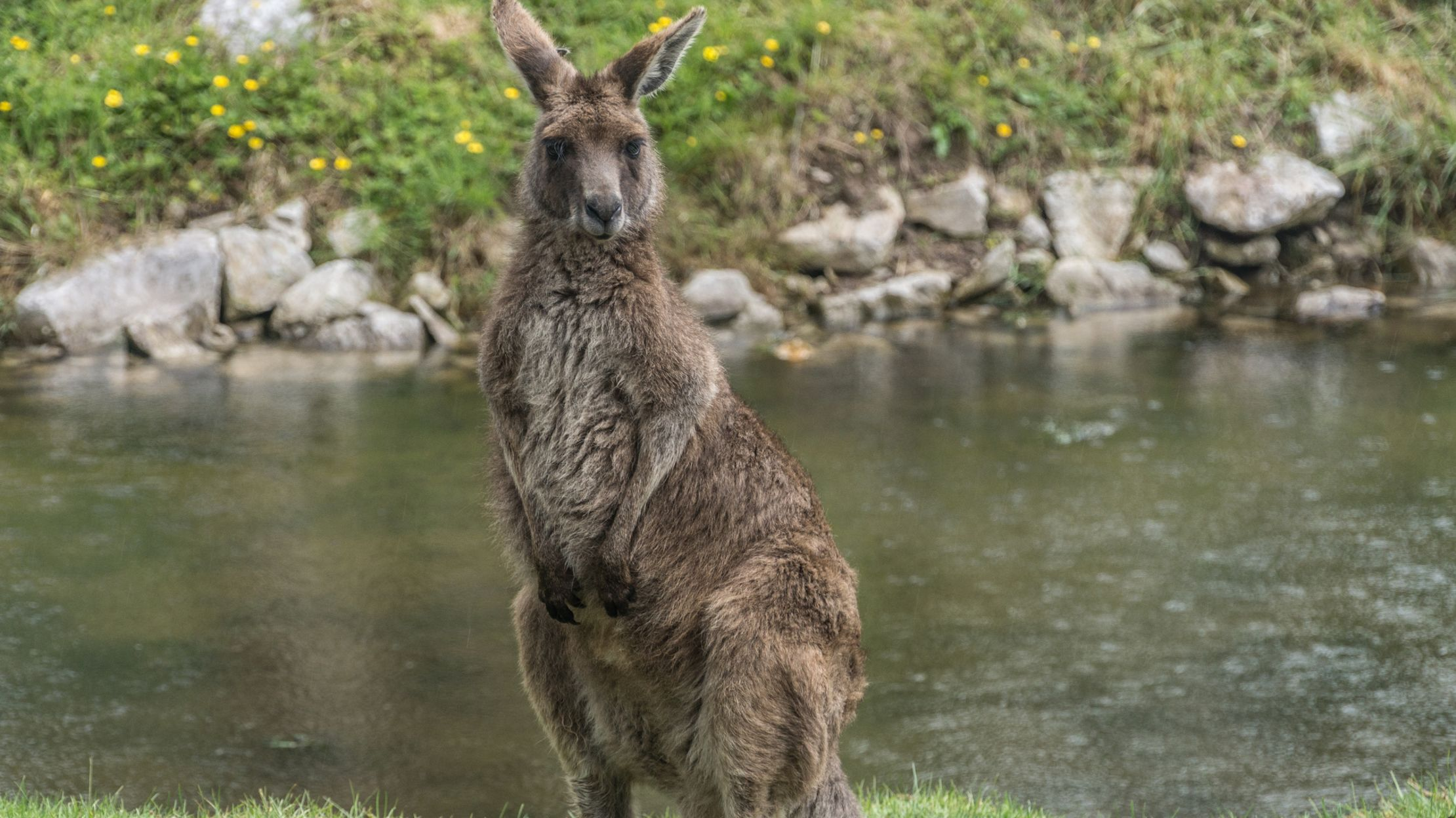 The Mysterious Irish Island That S Populated By Australian Wallabies Mental Floss