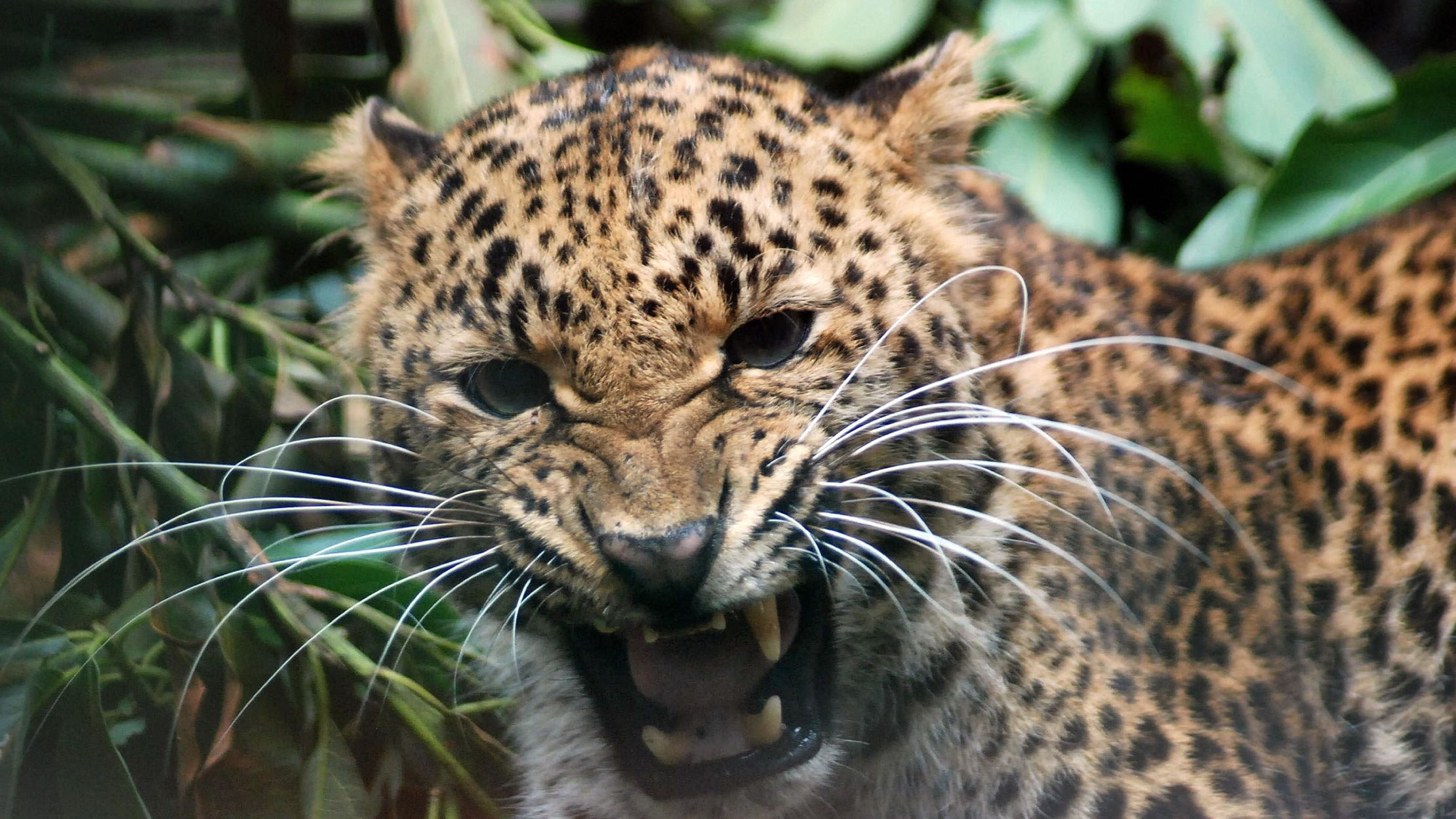 Cheetah vs. Leopard: What's the Difference? | Mental Floss