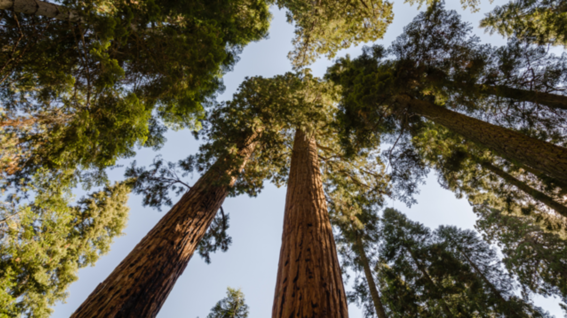10 Towering Facts About Giant Sequoias