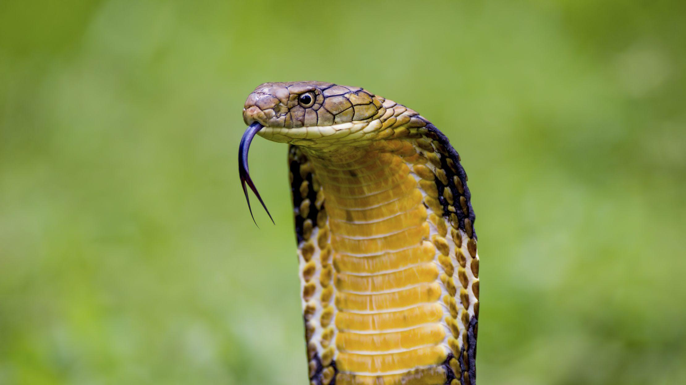12 Ferocious Facts About King Cobras | Mental Floss