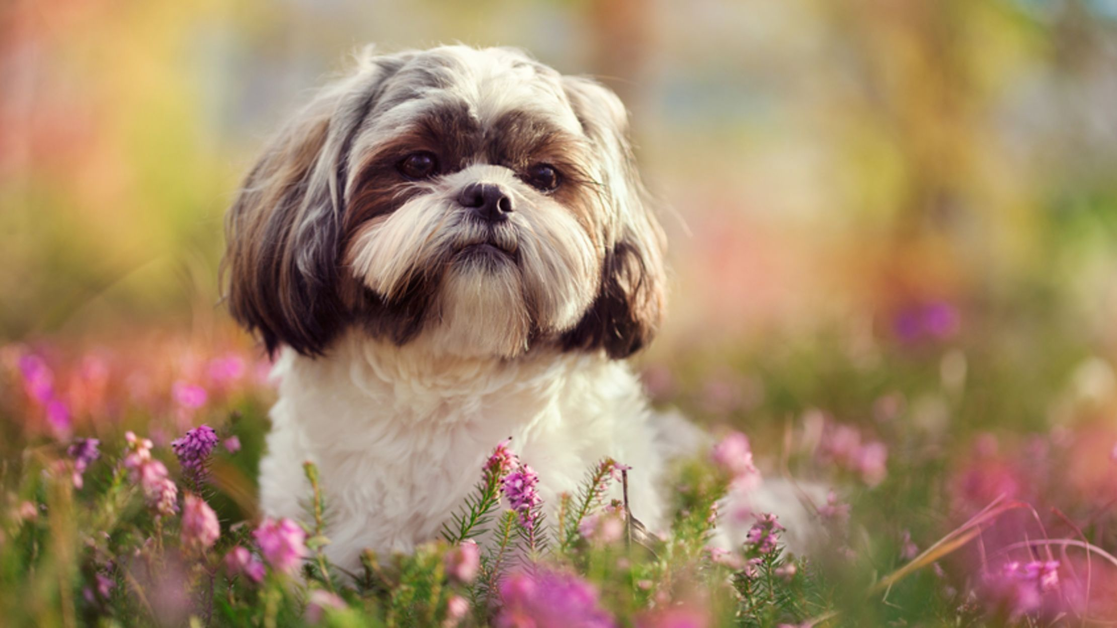 9 Fluffy Facts About the Shih Tzu