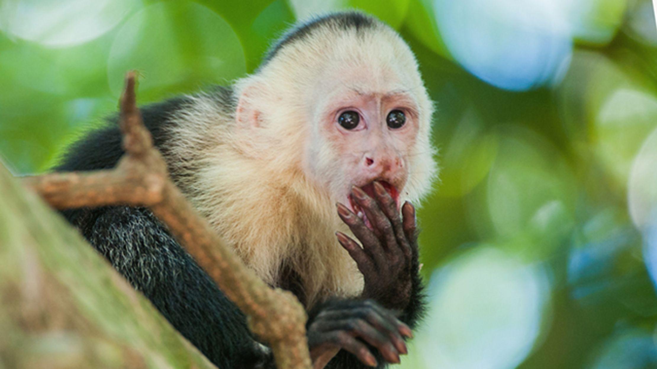 11 Mischievous Facts About Capuchin Monkeys | Mental Floss