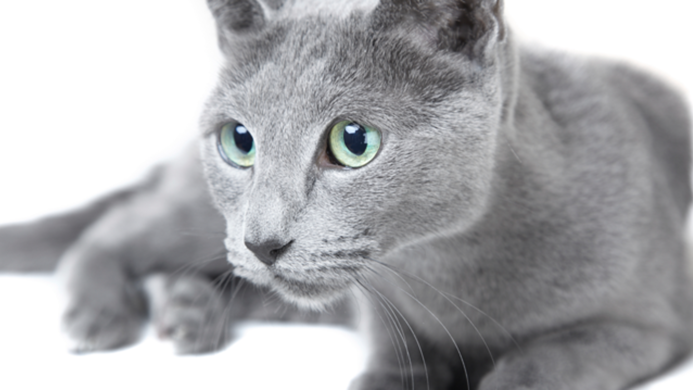 8 Elegant Facts About Russian Blue Cats Mental Floss