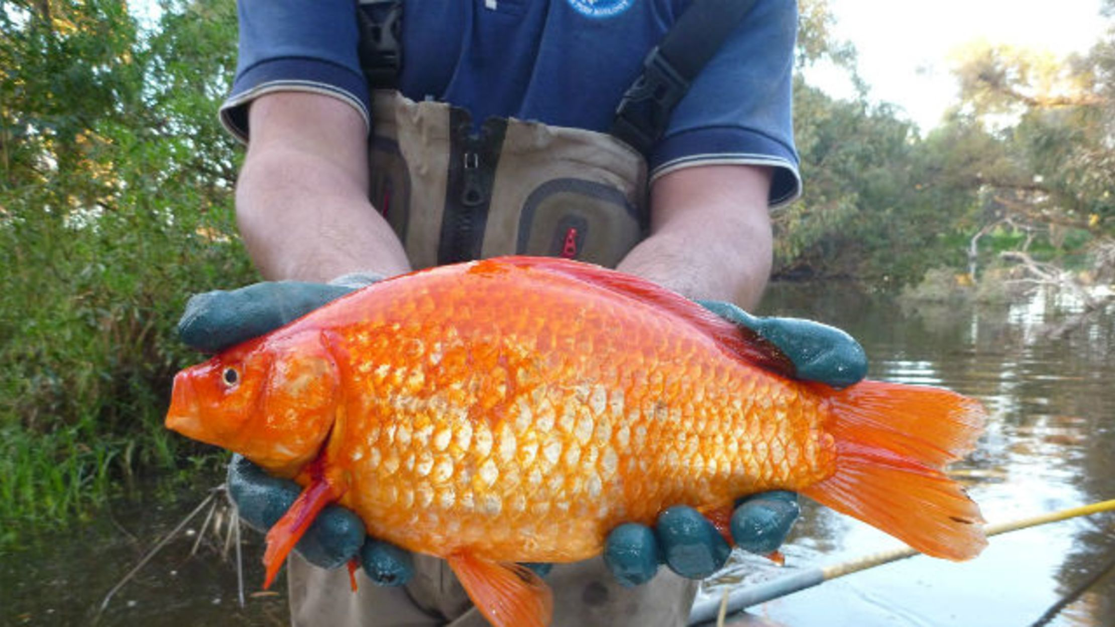 Australia Is Having a Giant Goldfish Problem