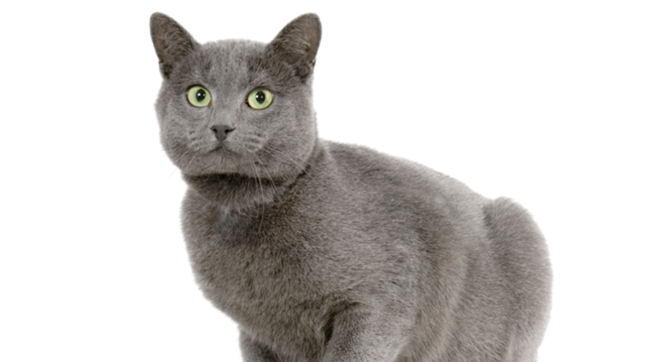 7 Elegant Facts About Chartreux Cats Mental Floss