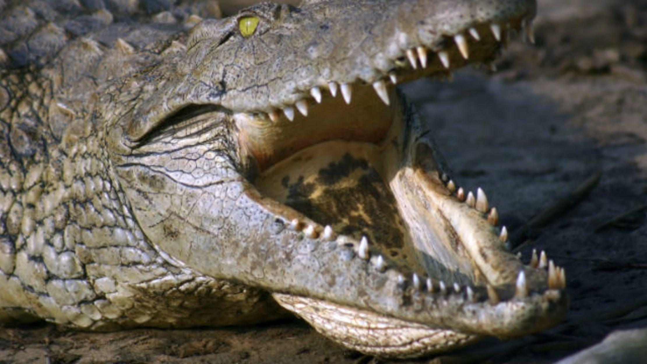 People-Eating Nile Crocodiles Identified in Southern Florida