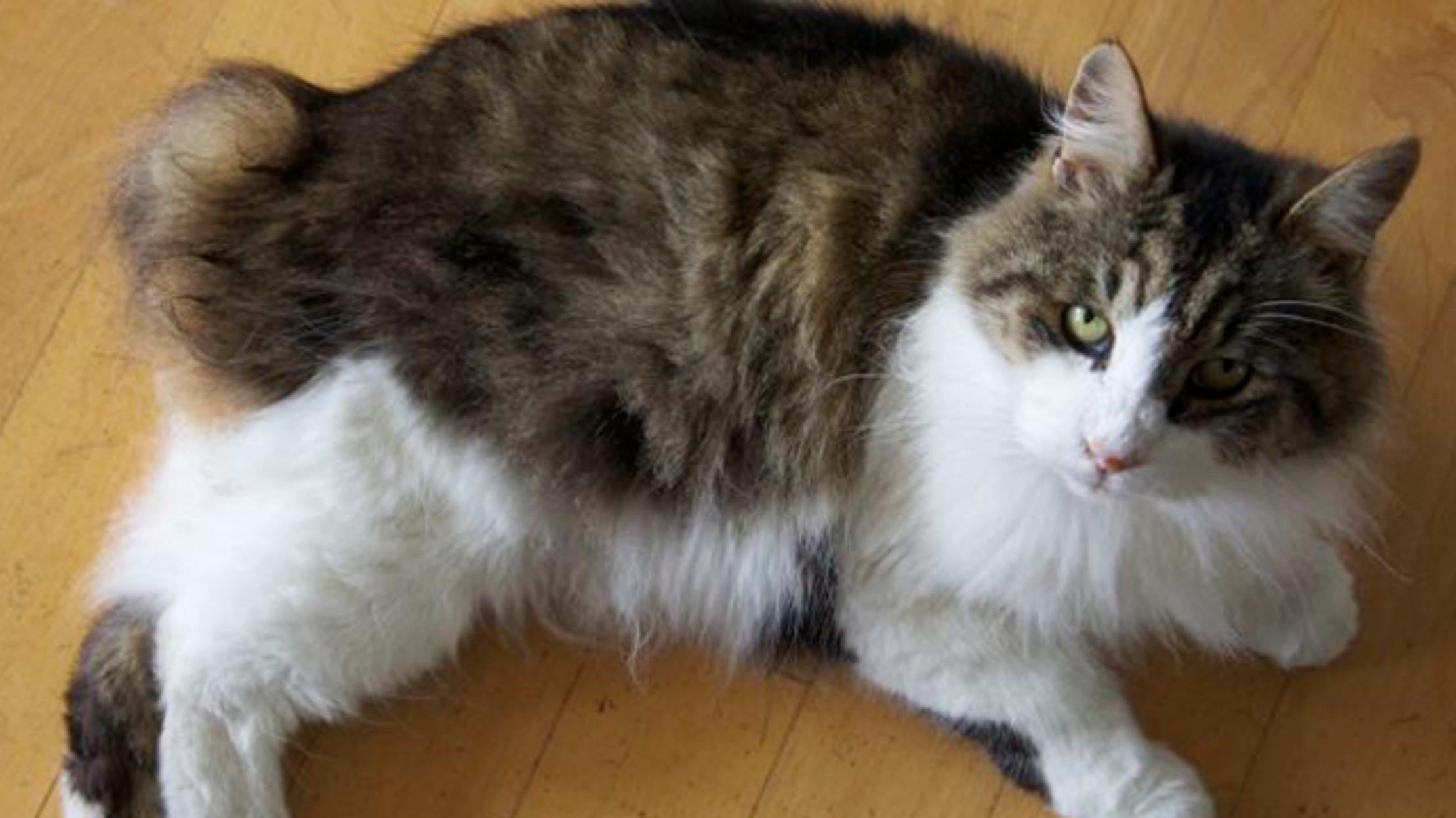 Manx | Cats | Breed Information | Omlet  |Manx Cat History